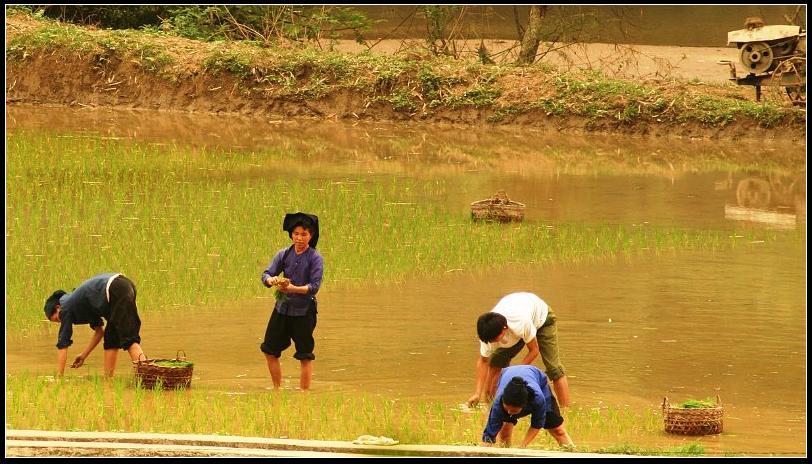 Repiquage dans la rizière
