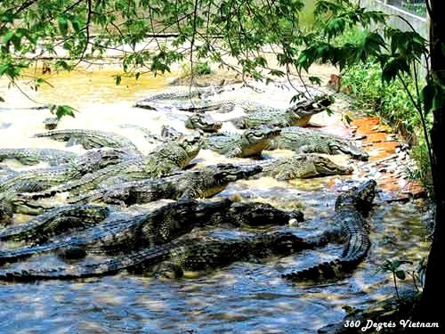 Ferme d'élevage de crocodiles