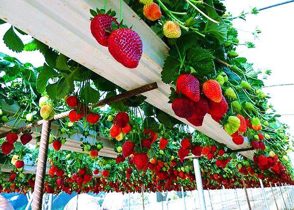 Déguster les fraises dans le jardin des fraises à Da Lat