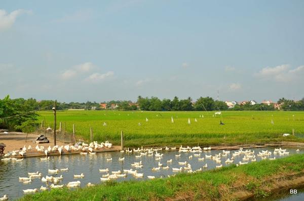 Promenade dans la campagne autour de Hoi an, encore des canards.