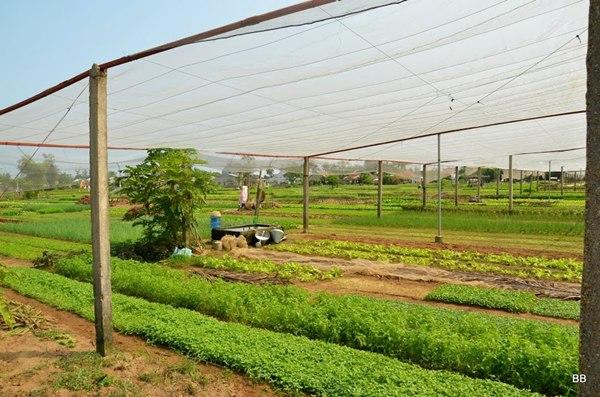 Promenade dans la campagne autour de Hoi an, village de Tra Que renommé pour la culture de légumes et d'herbes aromatiques.
