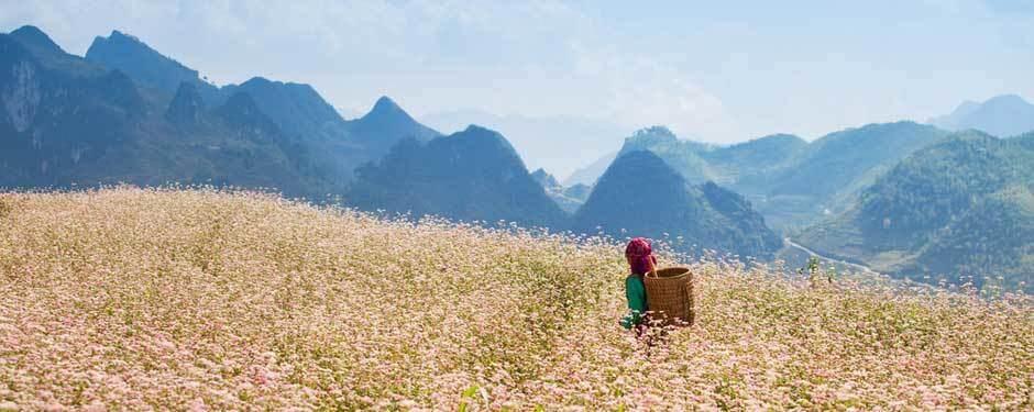 Ha Giang romanesque en saison des fleurs de sarrasins