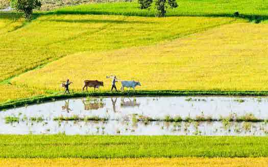 Saison de riz au delta du Mékong