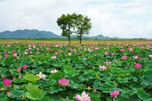 Saison de lotus dans le delta du mékong