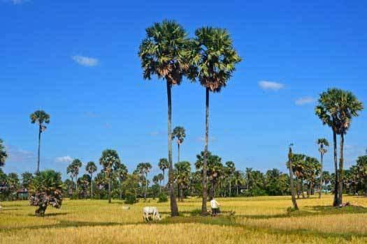 paysage de la campagne du cambodge