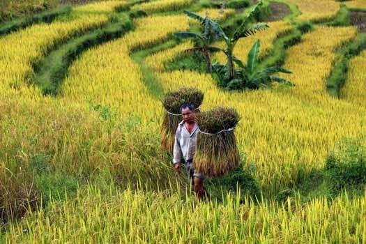 rizieres en terrasse