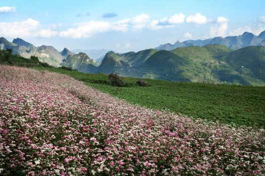 ha giang en saison de fleurs de sarrasins