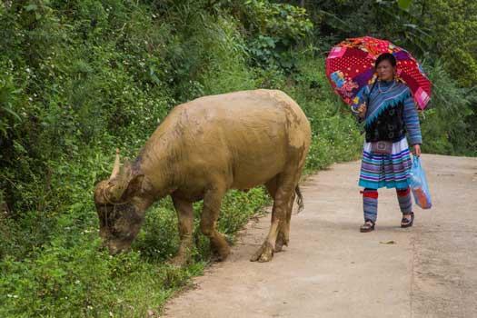 femme hmong fleur et son buffle